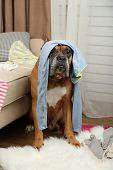 pic of dog clothes  - Dog demolishes clothes in messy room - JPG