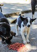 pic of stray dog  - Thai Puppy Stray Dog Eating  - JPG