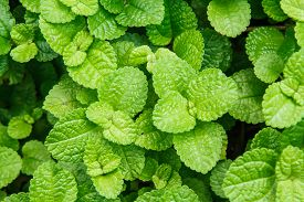 image of peppermint  - Abstract peppermint leaf in Park macro shot - JPG