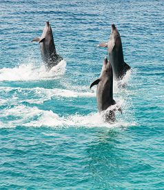 stock photo of bottlenose dolphin  - three bottlenose dolphins walking backwards on the sea - JPG