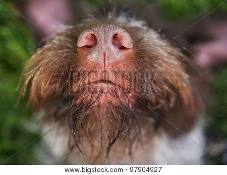 a german wire haired griffon out in nature on his back in the grass close up on the nose and mouth
