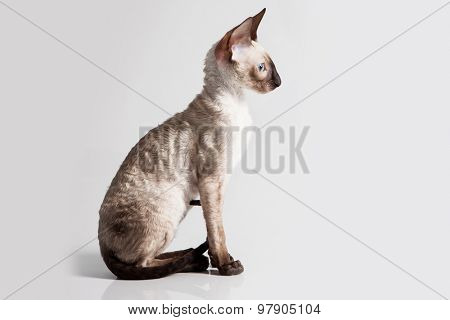 Cornish Rex kitten isolated on white background