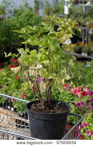 seedling red currant