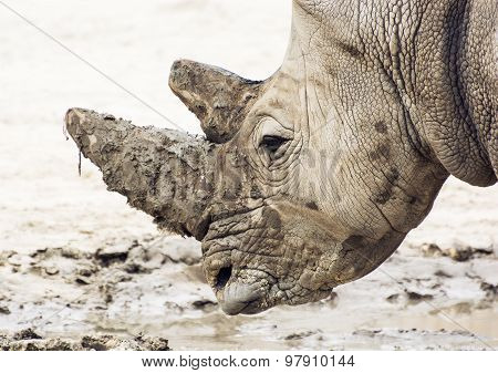 Closeup Profile Portrait Of A White Rhinoceros