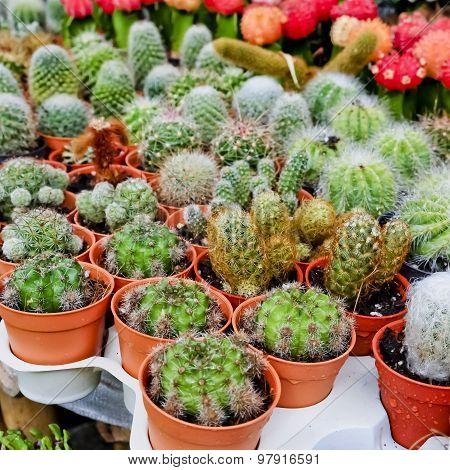 Cactus,cactus Plant In Flowerpot