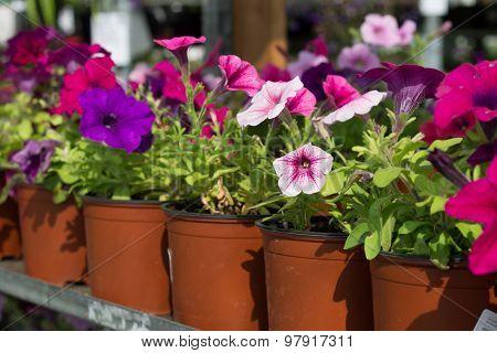 flowers petunias in pots