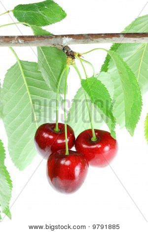 Three Cherries With Leafs.