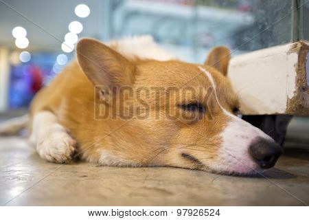 Pembroke Wales Corgi Crouching And Sleep.