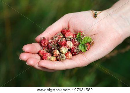 Постер, плакат: Handful Of Wildberries, холст на подрамнике