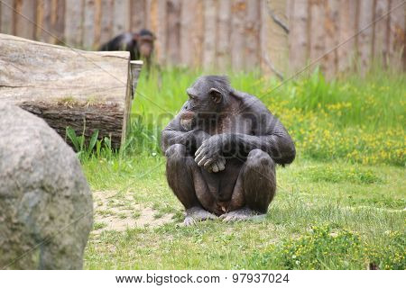 Chimpanzee Sitting On The Ground