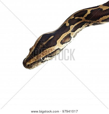 Python Snake on white background