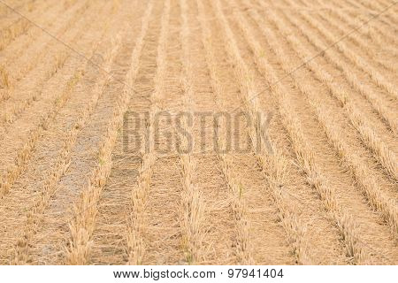 Dry Rice Field After Cultivation