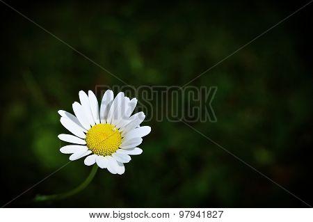 Daisy Face