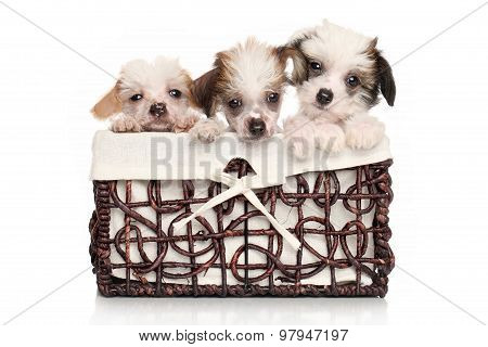 Chinese Crested Puppies In Wicker Basket