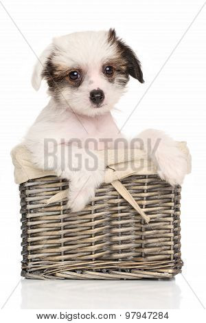 Chinese Crested Puppy In Wicker Basket