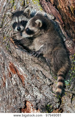 Two Young Raccoons (procyon Lotor) In Tree