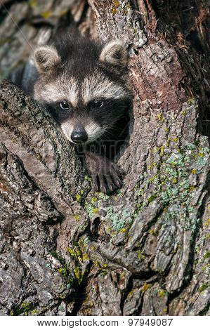 Young Raccoon (procyon Lotor) Pokes Head And Paw Out Of Tree
