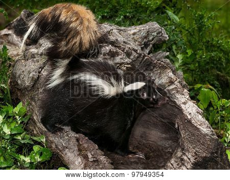 Striped Skunk (mephitis Mephitis) Stands In Log