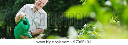 Elderly Gardener Watering Bushes