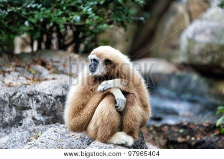 White-handed Gibbon In The Zoo