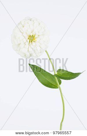 White Zinnia High Key