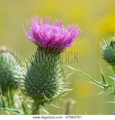 Blooming purple thistle in nature