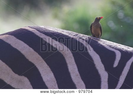 Redbilled Oxpecker On Zebra