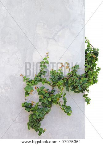 Ivy On Concrete Wall