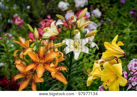 Beautiful Big Orange Fire Lily With Buds And Leafs Closeup Outdoors