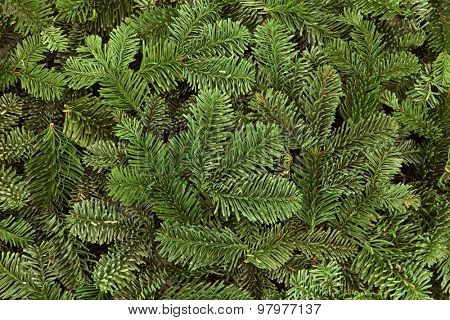 Blue spruce fir winter greenery forming a background.