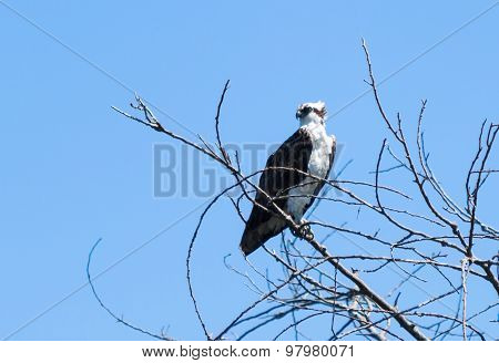 Osprey bird on the lookout for fish
