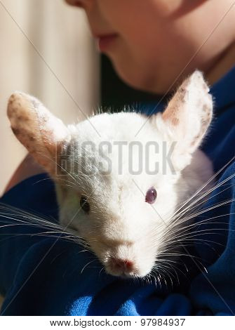 The Baby White Chinchilla On His Hands