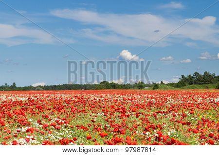 Blue Sky Over Poppy Flowers Field, Rural Landscape