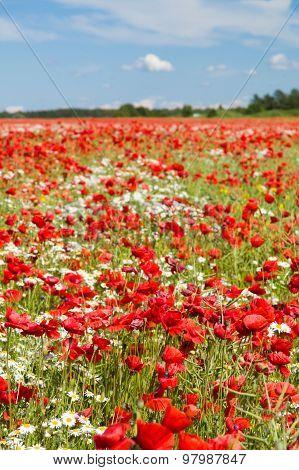 Poppy Flowers Field, Vertical View