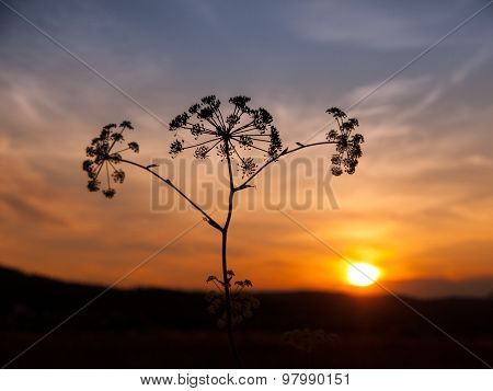 Sunset with solhouette of hogweed