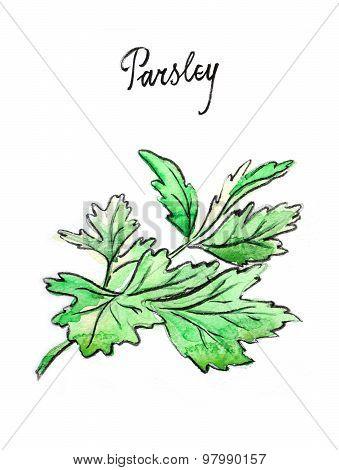 Watercolor Twig Of Parsley