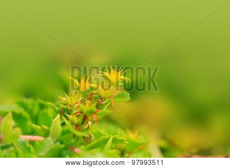 Tiny yellow flowers on a plant