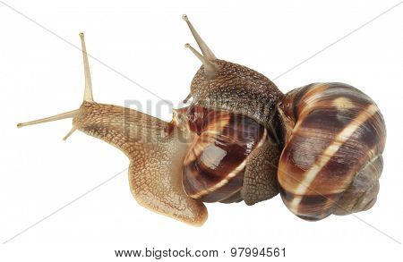 Two Slugs Isolated On White Background