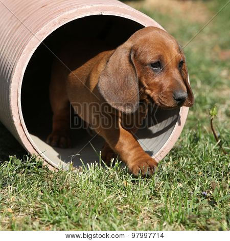 Gorgeous Dachshund Puppy In The Garden