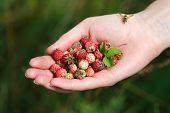Постер, плакат: Handful Of Wildberries