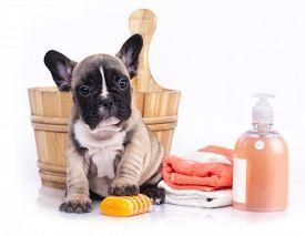 stock photo of bulldog  - puppy bath time  - JPG