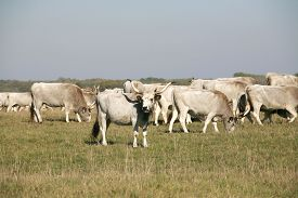 picture of calf cow  - Hungarian gray cattle cows with calves grazing on pasture summertime - JPG