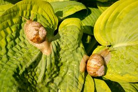 picture of garden snail  - Two garden snails on green and yellow hosta leaves - JPG