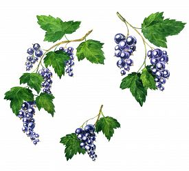 picture of bine  - branche of black currants with berries and green leaves drawing by watercolor - JPG