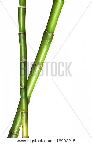 Lucky bamboo stems in isolated white background