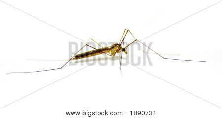Daddy Long Legs Insect Over White