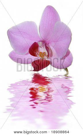 Phalaenopsis Rosa hermoso Orquídea con su reflexión, aislado sobre fondo blanco
