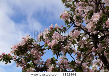 Apple Blossoms Against Blue Sky And White Clouds