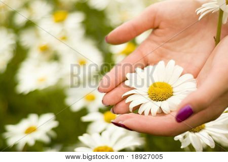 Two women hands holding one daisy flower (shallow dof) focus on the flower