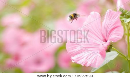 A bumble-bee collects pollen on flowers (shallow dof)